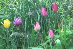 NGGood-Morning-Tulips350_jpg_480x1000_q100