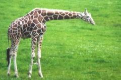 NG_Giraffe_jpg_480x1000_q100