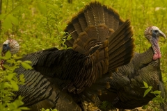 wild_turkeys_3_jpg_480x1000_q100